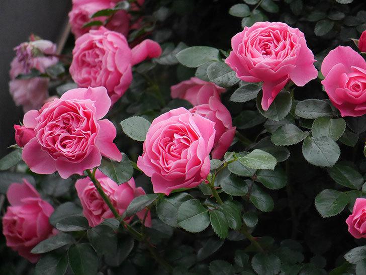 レオナルド・ダ・ヴィンチ(半ツルバラ)の花がたくさん咲いた。2020年-021.jpg