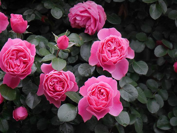 レオナルド・ダ・ヴィンチ(半ツルバラ)の花がたくさん咲いた。2020年-022.jpg