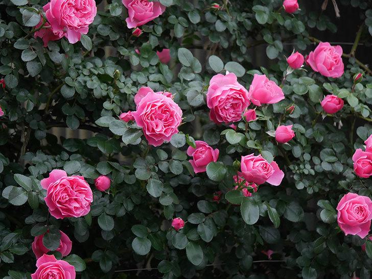 レオナルド・ダ・ヴィンチ(半ツルバラ)の花がたくさん咲いた。2020年-026.jpg