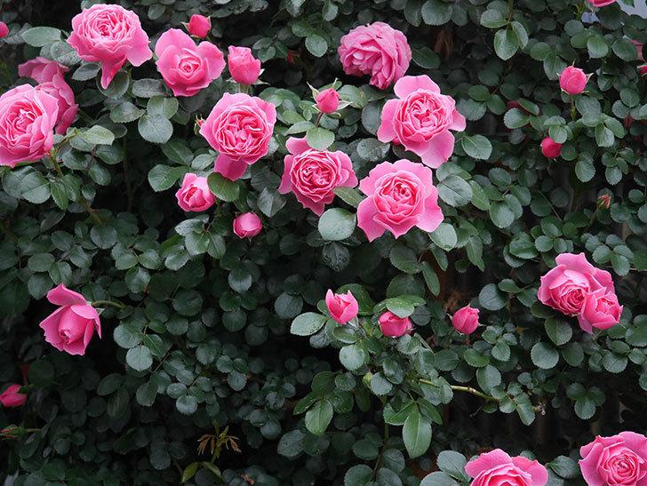 レオナルド・ダ・ヴィンチ(半ツルバラ)の花がたくさん咲いた。2020年-027.jpg