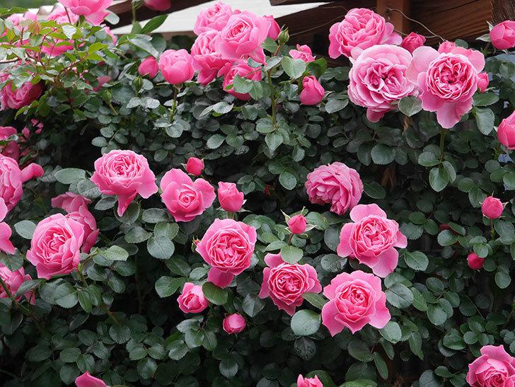 レオナルド・ダ・ヴィンチ(半ツルバラ)の花がたくさん咲いた。2020年-028.jpg