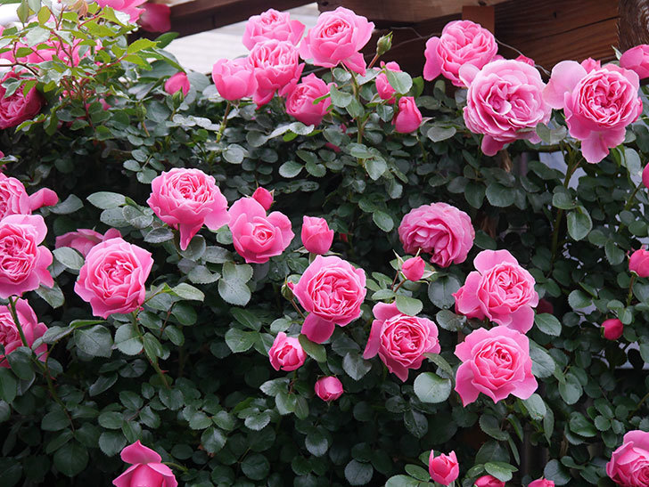 レオナルド・ダ・ヴィンチ(半ツルバラ)の花がたくさん咲いた。2020年-029.jpg