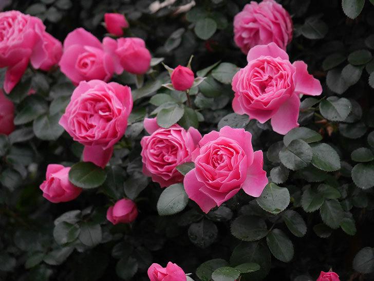 レオナルド・ダ・ヴィンチ(半ツルバラ)の花がたくさん咲いた。2020年-030.jpg