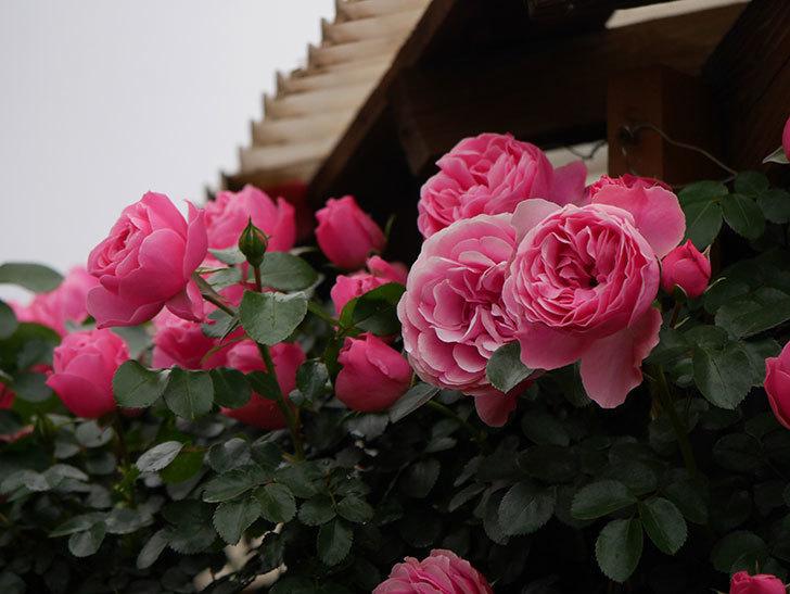 レオナルド・ダ・ヴィンチ(半ツルバラ)の花がたくさん咲いた。2020年-031.jpg