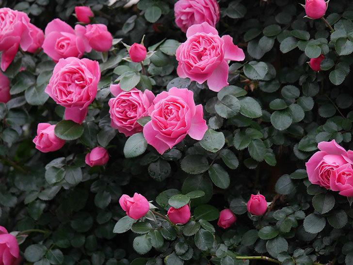 レオナルド・ダ・ヴィンチ(半ツルバラ)の花がたくさん咲いた。2020年-032.jpg