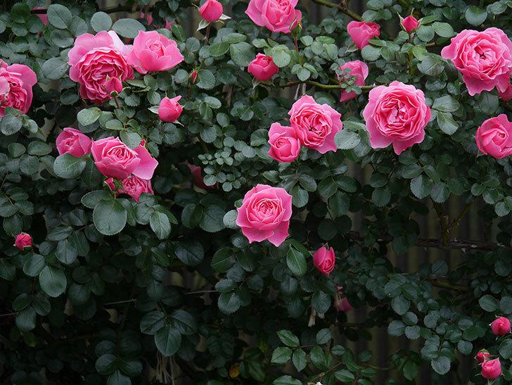 レオナルド・ダ・ヴィンチ(半ツルバラ)の花がたくさん咲いた。2020年-033.jpg