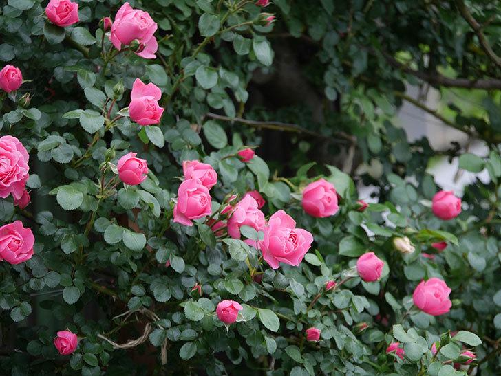 レオナルド・ダ・ヴィンチ(半ツルバラ)の花がたくさん咲いた。2020年-034.jpg