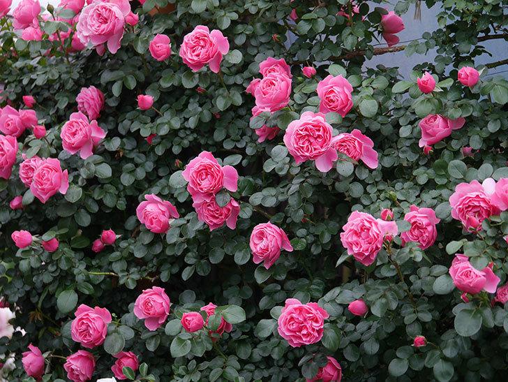 レオナルド・ダ・ヴィンチ(半ツルバラ)の花がたくさん咲いた。2020年-035.jpg