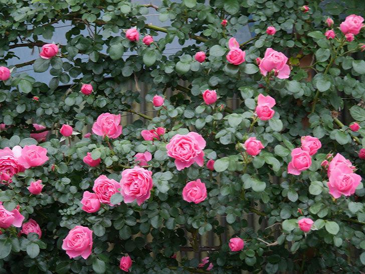 レオナルド・ダ・ヴィンチ(半ツルバラ)の花がたくさん咲いた。2020年-036.jpg