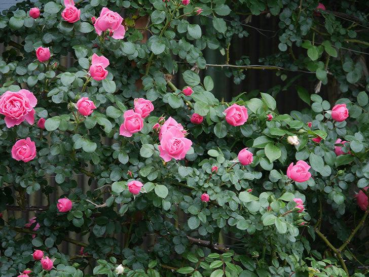 レオナルド・ダ・ヴィンチ(半ツルバラ)の花がたくさん咲いた。2020年-037.jpg