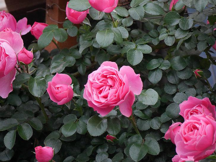 レオナルド・ダ・ヴィンチ(半ツルバラ)の花がたくさん咲いた。2020年-038.jpg