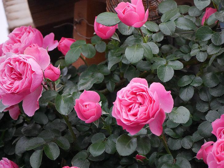 レオナルド・ダ・ヴィンチ(半ツルバラ)の花がたくさん咲いた。2020年-039.jpg