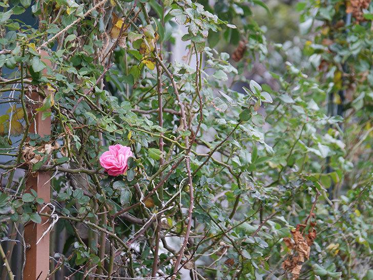 レオナルド・ダ・ヴィンチ(半ツルバラ)の花がまだ咲いている。2019年-2.jpg