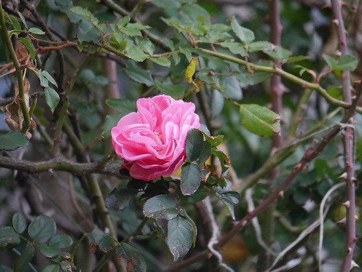 レオナルド・ダ・ヴィンチ(半ツルバラ)の花がまだ咲いている。2019年-3.jpg