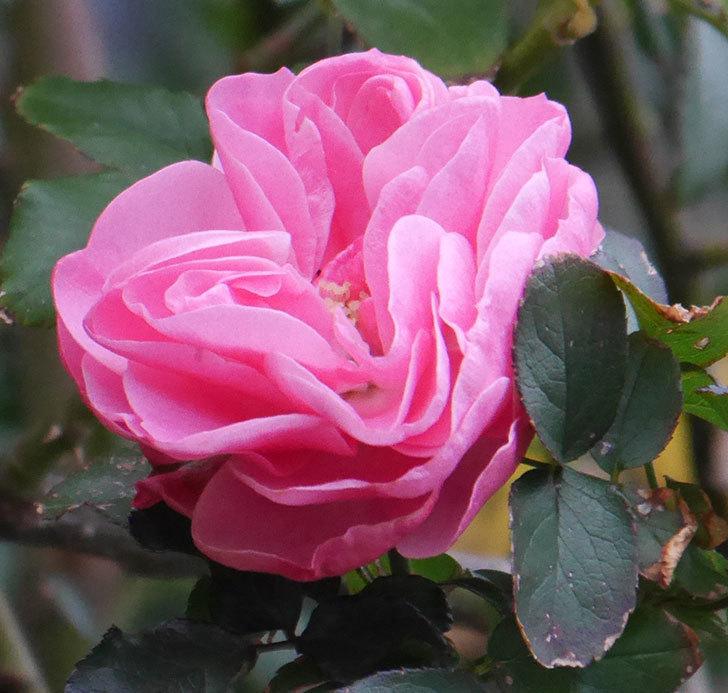 レオナルド・ダ・ヴィンチ(半ツルバラ)の花がまだ咲いている。2019年-4.jpg
