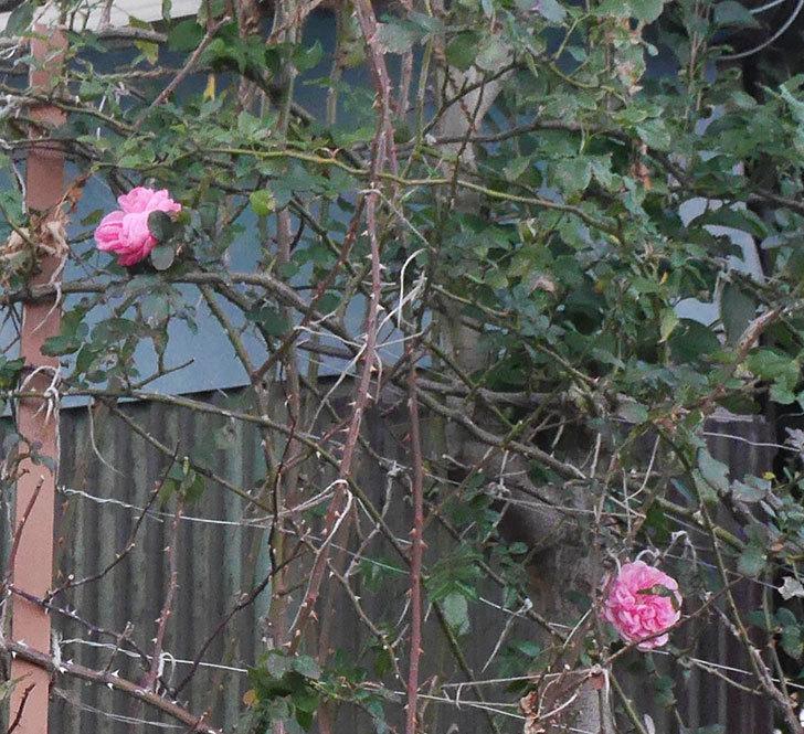 レオナルド・ダ・ヴィンチ(半ツルバラ)の花がまだ咲いている。2019年-5.jpg
