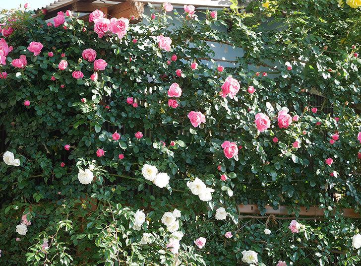 レオナルド・ダ・ヴィンチ(半ツルバラ)の花が上の方でたくさん咲いた。2020年-1.jpg