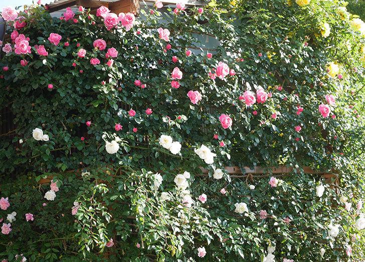 レオナルド・ダ・ヴィンチ(半ツルバラ)の花が上の方でたくさん咲いた。2020年-2.jpg