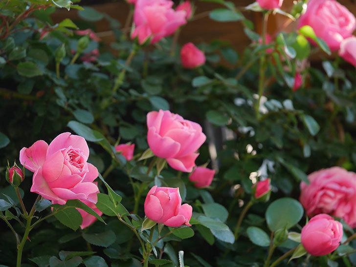 レオナルド・ダ・ヴィンチ(半ツルバラ)の花が上の方でたくさん咲いた。2020年-3.jpg