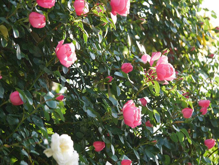 レオナルド・ダ・ヴィンチ(半ツルバラ)の花が上の方でたくさん咲いた。2020年-5.jpg