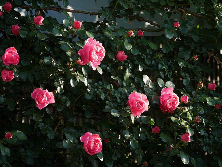 レオナルド・ダ・ヴィンチ(半ツルバラ)の花が上の方でたくさん咲いた。2020年-7.jpg