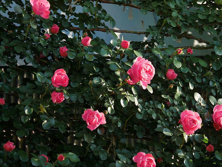 レオナルド・ダ・ヴィンチ(半ツルバラ)の花が上の方でたくさん咲いた。2020年-8.jpg