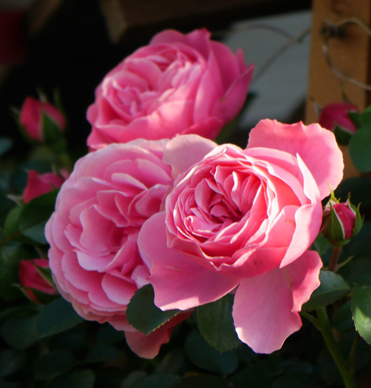 レオナルド・ダ・ヴィンチ(半ツルバラ)の花が上の方でたくさん咲いた。2020年-9.jpg