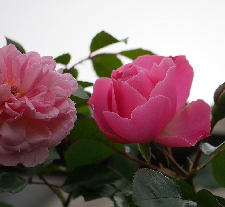 レオナルド・ダ・ヴィンチ(半ツルバラ)の花が咲きだした。2020年-1.jpg