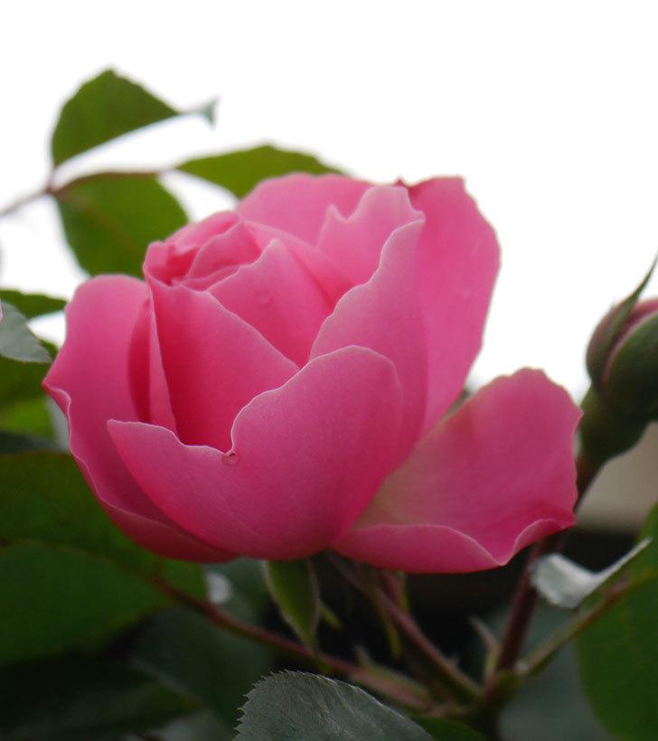レオナルド・ダ・ヴィンチ(半ツルバラ)の花が咲きだした。2020年-2.jpg