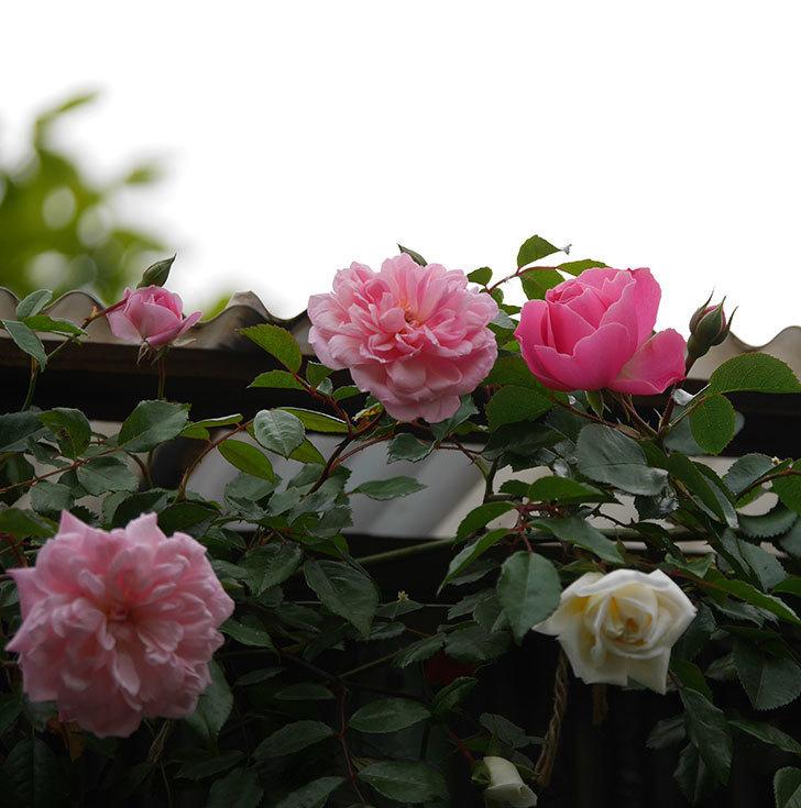 レオナルド・ダ・ヴィンチ(半ツルバラ)の花が咲きだした。2020年-3.jpg