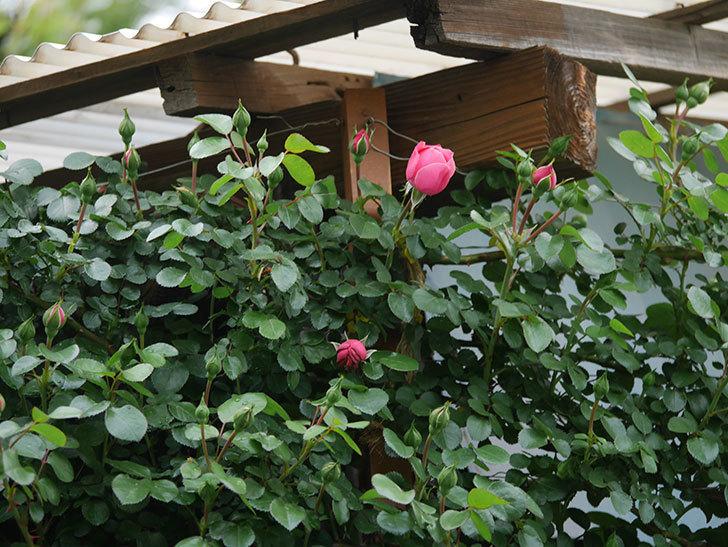レオナルド・ダ・ヴィンチ(半ツルバラ)の花が咲きだした。2020年-4.jpg