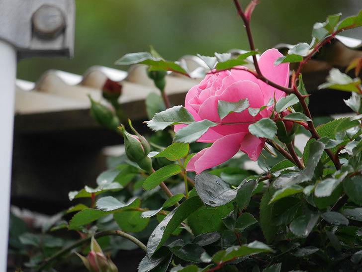 レオナルド・ダ・ヴィンチ(半ツルバラ)の花が咲きだした。2020年-6.jpg