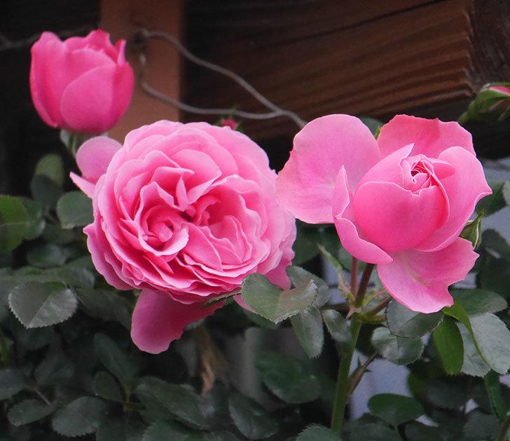 レオナルド・ダ・ヴィンチ(半ツルバラ)の花が増えてきた。2020年-1.jpg