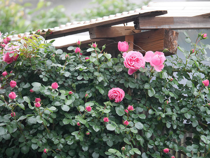 レオナルド・ダ・ヴィンチ(半ツルバラ)の花が増えてきた。2020年-2.jpg