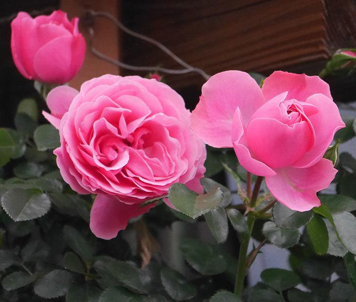 レオナルド・ダ・ヴィンチ(半ツルバラ)の花が増えてきた。2020年-3.jpg