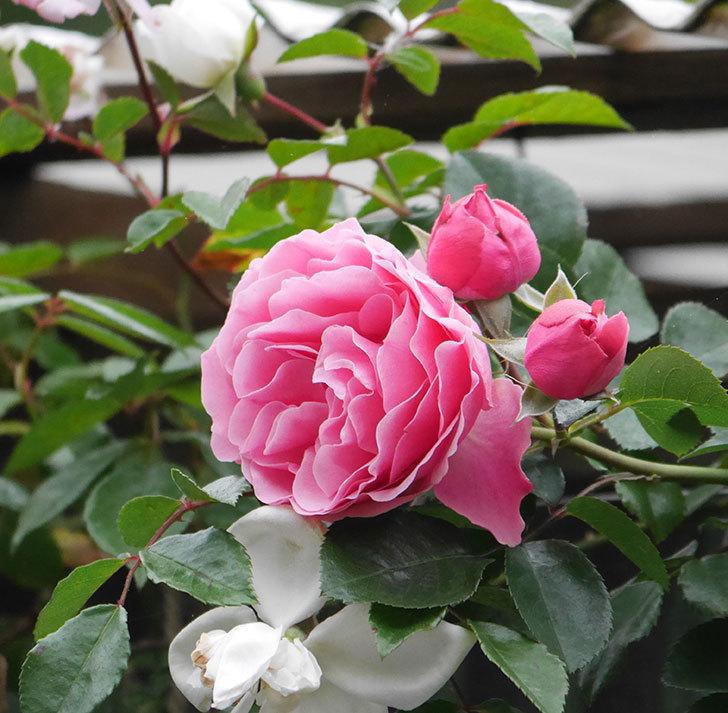 レオナルド・ダ・ヴィンチ(半ツルバラ)の花が増えてきた。2020年-4.jpg