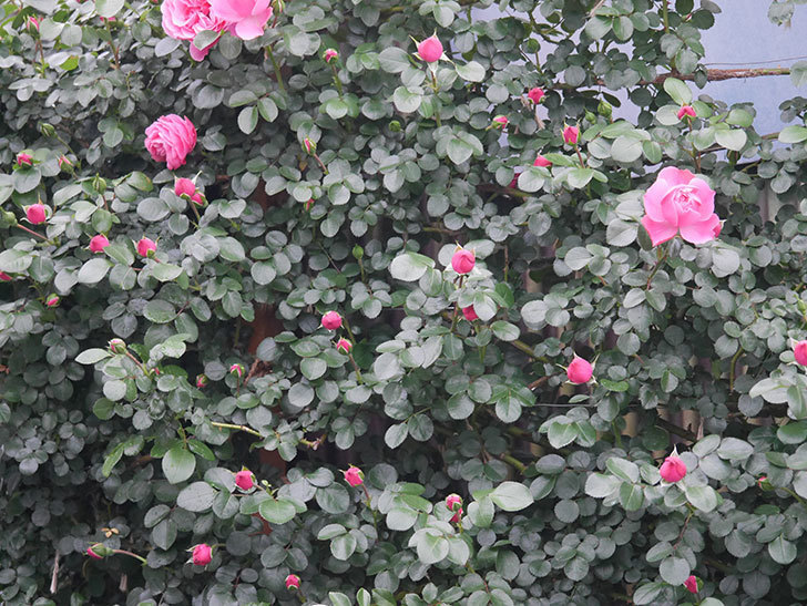 レオナルド・ダ・ヴィンチ(半ツルバラ)の花が増えてきた。2020年-5.jpg