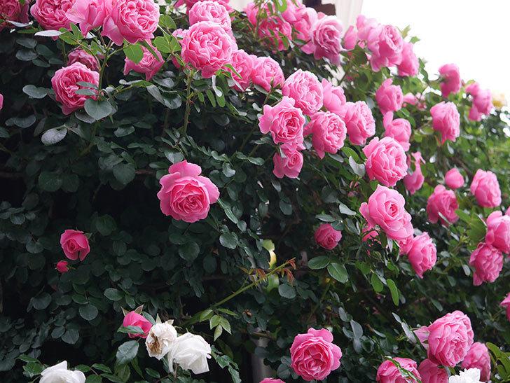 レオナルド・ダ・ヴィンチ(半ツルバラ)の花が満開になった。2020年-001.jpg