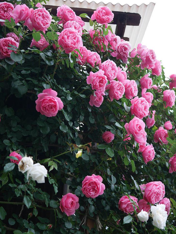 レオナルド・ダ・ヴィンチ(半ツルバラ)の花が満開になった。2020年-002.jpg