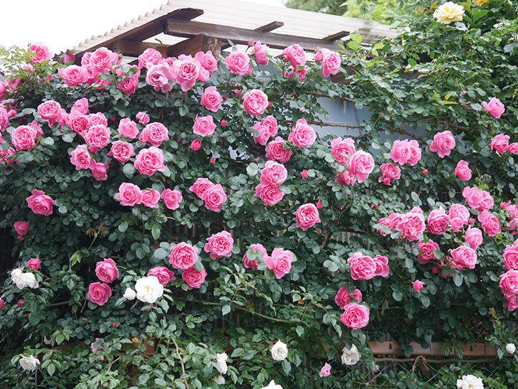 レオナルド・ダ・ヴィンチ(半ツルバラ)の花が満開になった。2020年-003.jpg