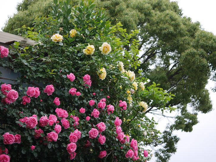 レオナルド・ダ・ヴィンチ(半ツルバラ)の花が満開になった。2020年-004.jpg