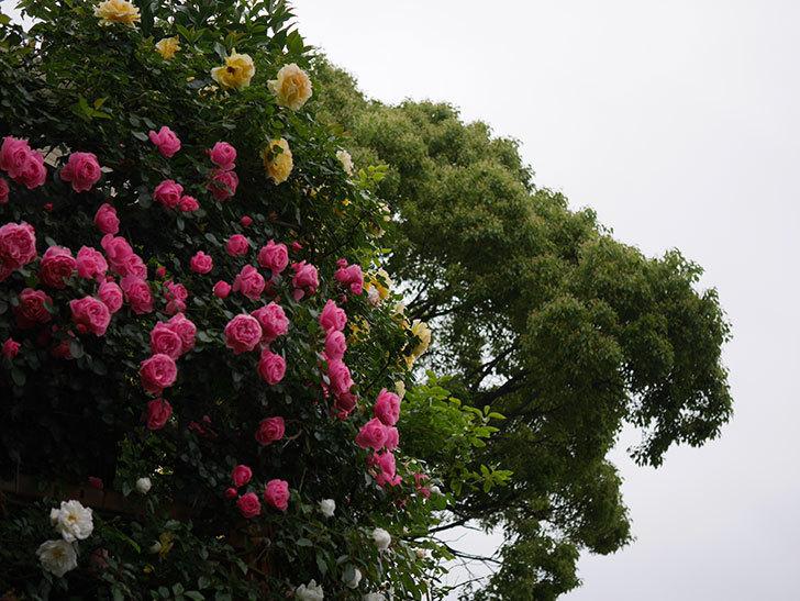 レオナルド・ダ・ヴィンチ(半ツルバラ)の花が満開になった。2020年-005.jpg