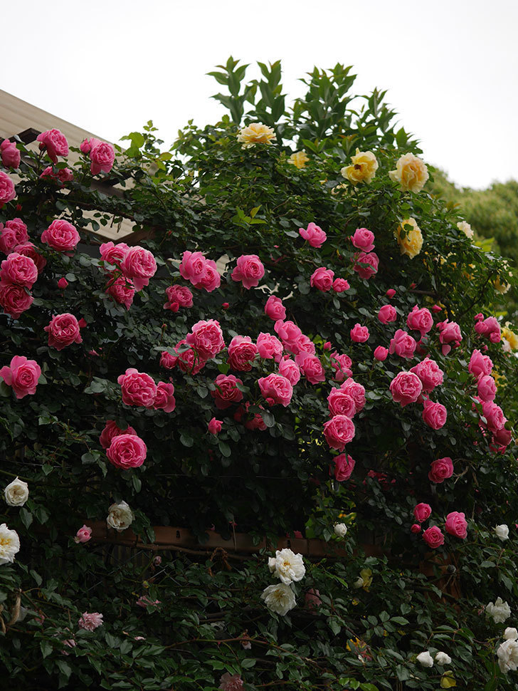 レオナルド・ダ・ヴィンチ(半ツルバラ)の花が満開になった。2020年-006.jpg