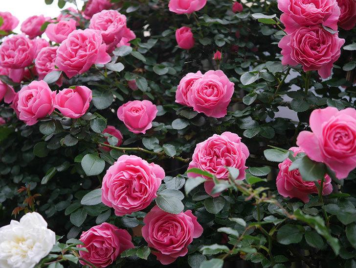 レオナルド・ダ・ヴィンチ(半ツルバラ)の花が満開になった。2020年-007.jpg