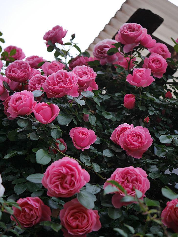 レオナルド・ダ・ヴィンチ(半ツルバラ)の花が満開になった。2020年-008.jpg