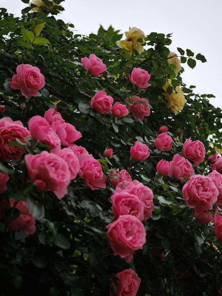 レオナルド・ダ・ヴィンチ(半ツルバラ)の花が満開になった。2020年-010.jpg