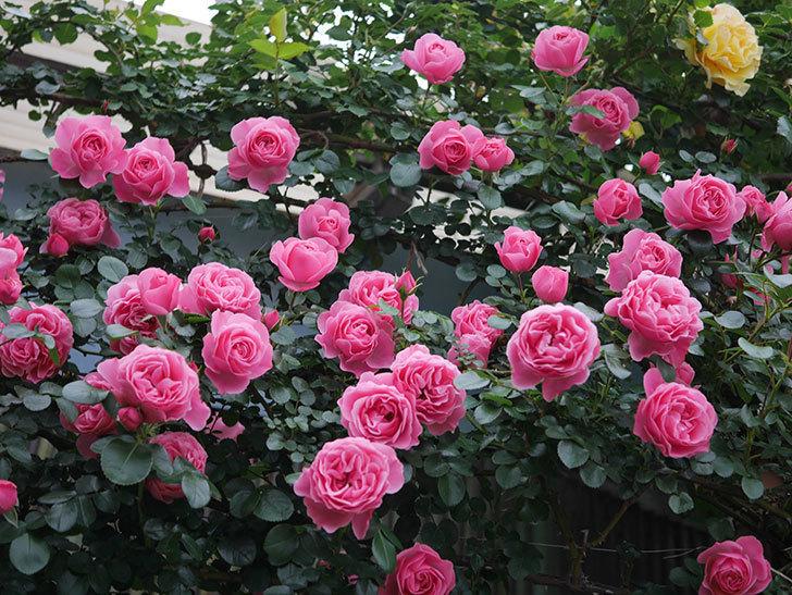 レオナルド・ダ・ヴィンチ(半ツルバラ)の花が満開になった。2020年-012.jpg