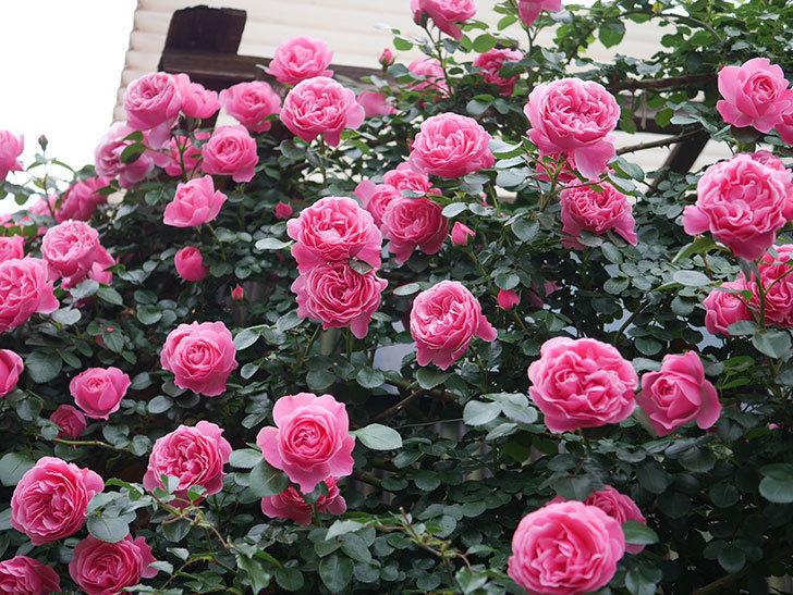 レオナルド・ダ・ヴィンチ(半ツルバラ)の花が満開になった。2020年-013.jpg