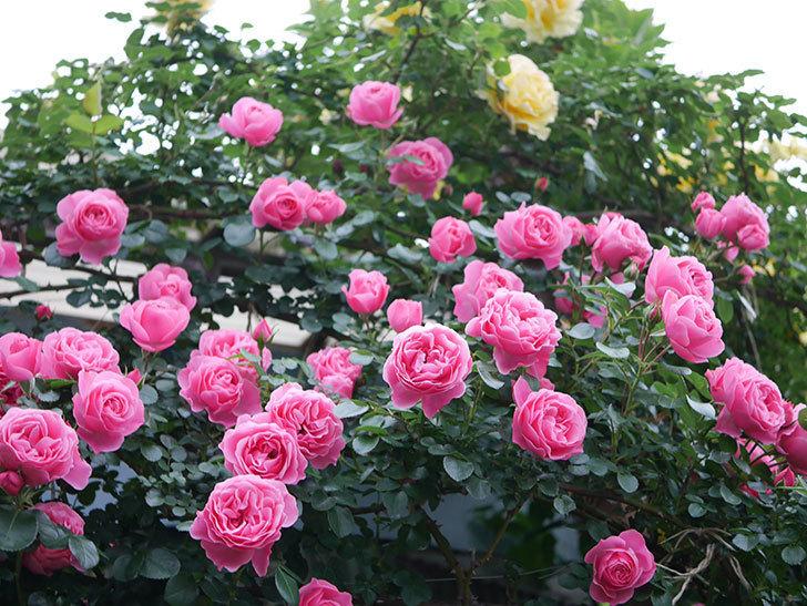 レオナルド・ダ・ヴィンチ(半ツルバラ)の花が満開になった。2020年-014.jpg