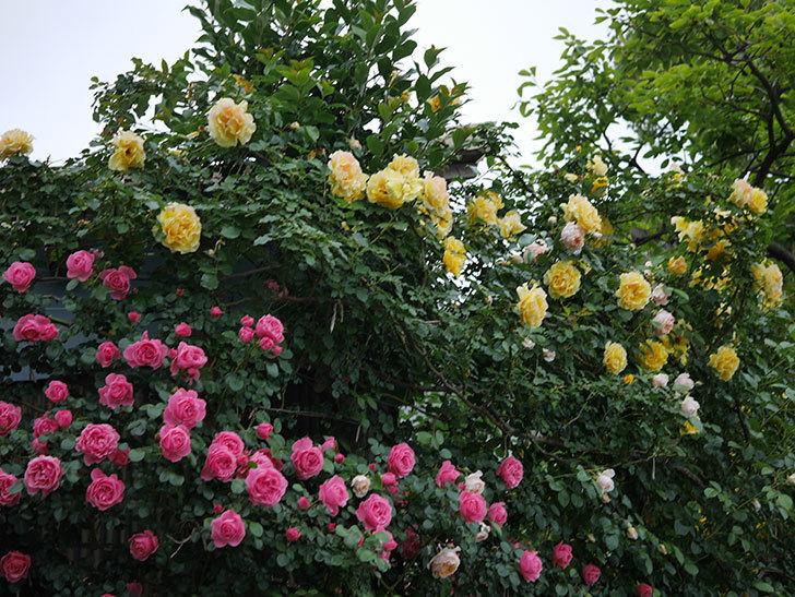 レオナルド・ダ・ヴィンチ(半ツルバラ)の花が満開になった。2020年-015.jpg